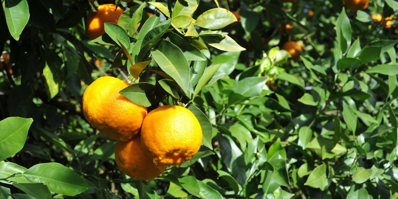 First Day Picking the Wonderful Organic Ave Maria Seville Oranges