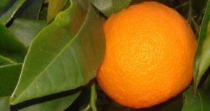 Real Organic Gospa Citrus Seville Oranges from Gospa Citrus Farm in Seville.