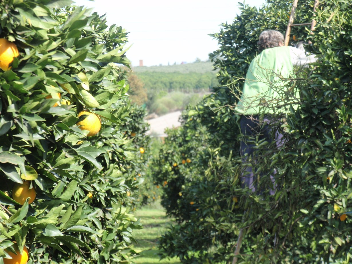Navelina Orange Gospa Citrus Farm man picking harvest