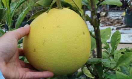 Pomelo – Citrus Maxima