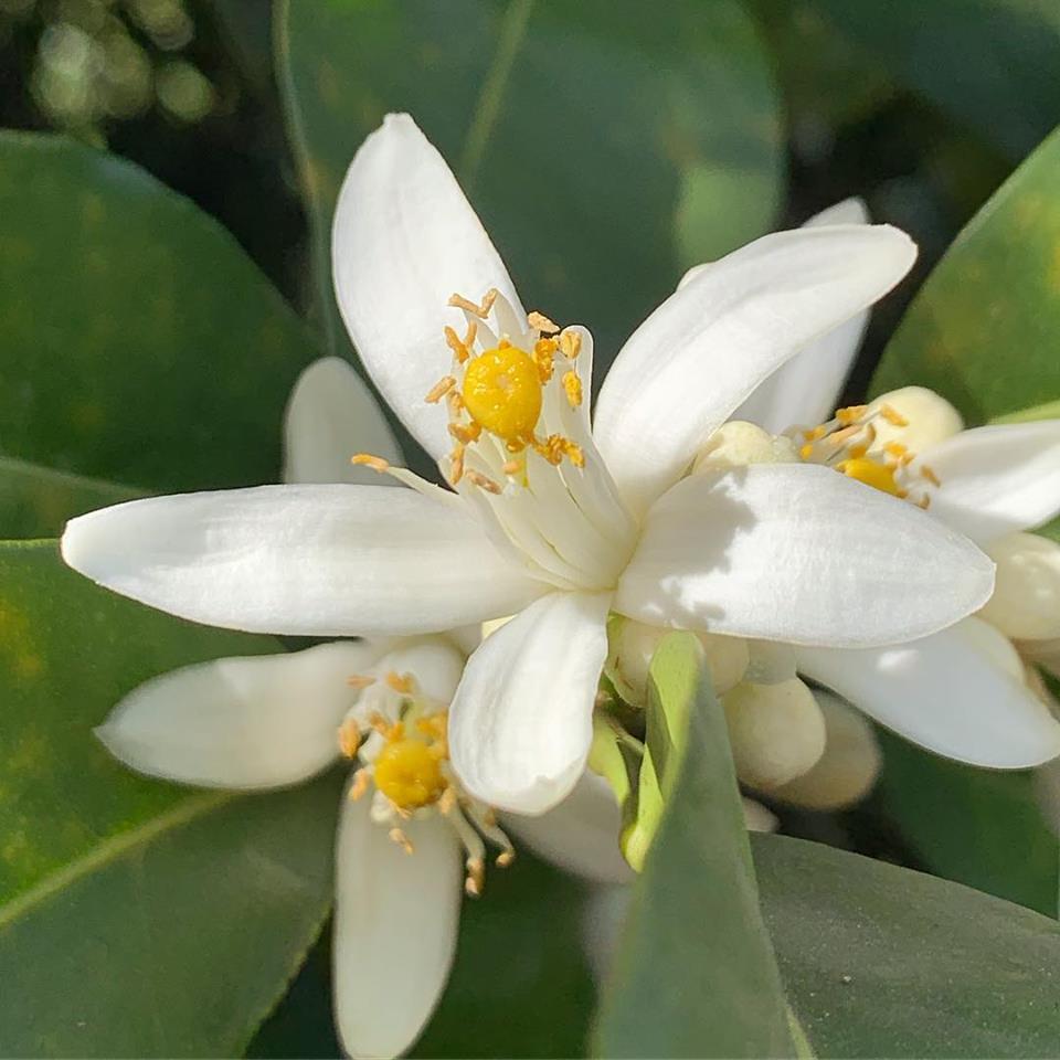 Gospa Citrus Farm blossoms