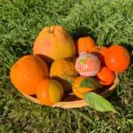 Why Gospa Citrus oranges are so famous